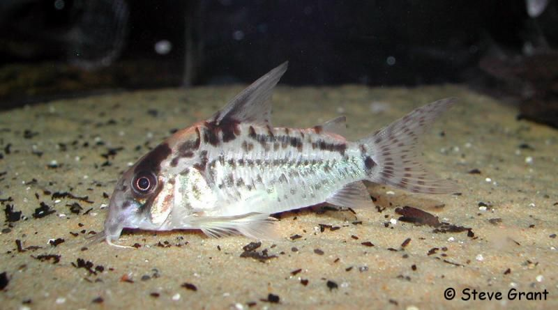 Welse.com Datenbank - Corydoras evelynae - Powered by ReviewPost