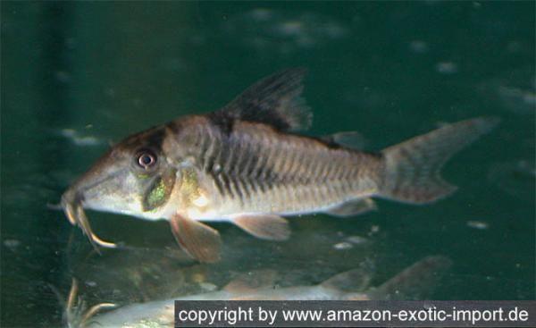 Welse.com Datenbank - Corydoras septentrionalis - Powered by ...