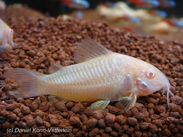 Cory catfish for Cory cat fish