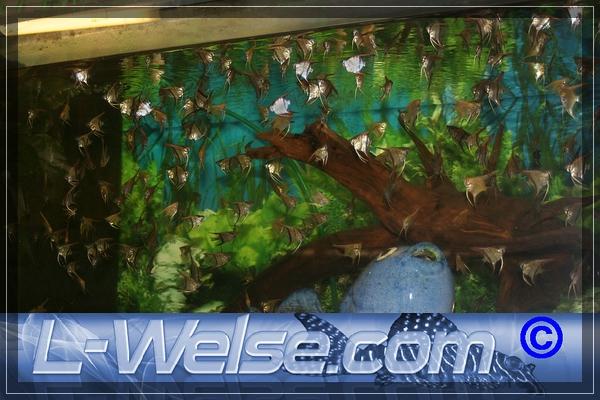 Pterophyllum scalare skalar seite 2 l forum for Skalar aquarium