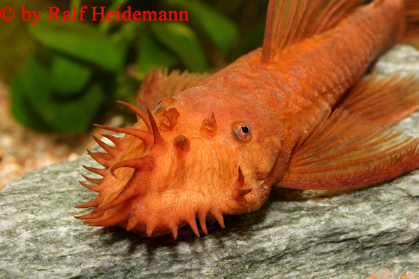 Pic I found of Super Red Bristlenose Ancistrus_sp__super_rot_14