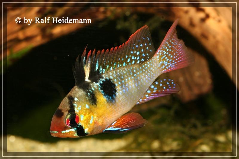 L datenbank peckoltia lineola l 202 for Fadenfische zucht