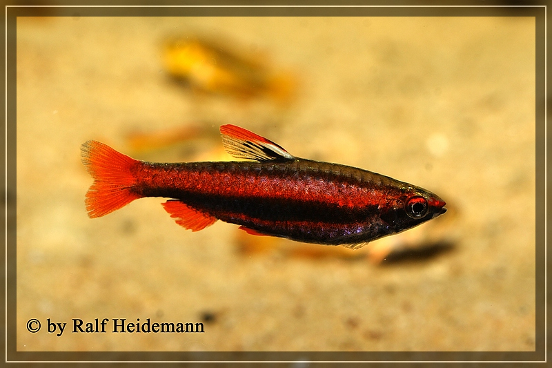 L-Welse.com Datenbank - Hypostomus ancistroides - Powered ...
