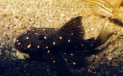 albomaculatus1.jpg