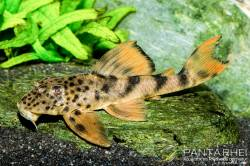 Ancistomus_sp_L_487_1_1000.jpg