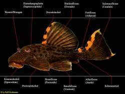 Anatomie_Leporacanthicus_L91_850.jpg
