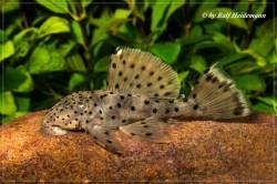 Leporacanthicus_Curua-Una_2462_640.jpg