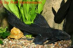 Pseudacanthicus-L64.jpg