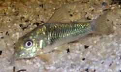 stenocephalus1.jpg