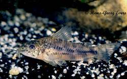 aspidoras_albater_species_large.jpg