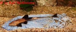 Pseudohemiodon_sp_01.jpg