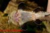 Pseudohemiodon_sp_04.jpg