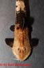 Pseudohemiodon_sp_05.jpg